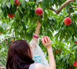 桃狩り観光の会場について写真